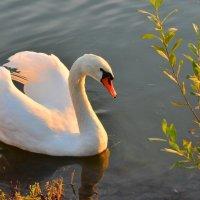 Про лебедя и золотую осень :: Татьяна Каневская