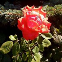 Сентябрьская роза :: Владимир Бровко