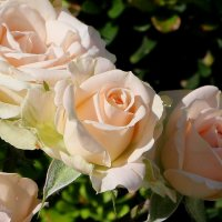 Нежные розы солнечного сентября :: Надежд@ Шавенкова