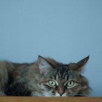 Кошка преисполнена желанием быть моей моделью. :: Таня Горбачева