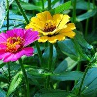 ЦИННИЯ - цветок изящный. :: Liliya Kharlamova