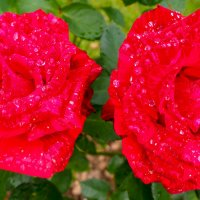 Розы :: Надежда К