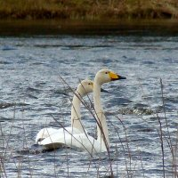 лебеди кликуны :: gawrilа - dan