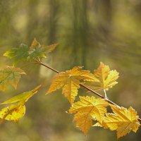 Осенние листья клёна :: Татьяна Башкирова
