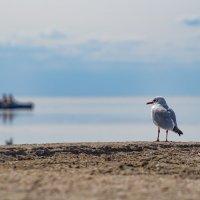 Чайка на страже :: Александр Довгий