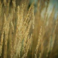 Трава осенняя,обыкновенная.... :: Alex Olexsovic