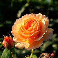 осенние розы :: tamara kremleva