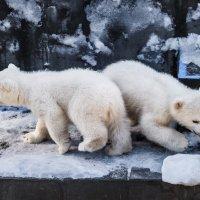 Белый медведь :: SanSan