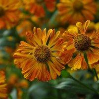 Осеннее цветение :: Любовь Р
