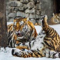 Тигры :: SanSan