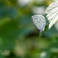 Бабочка белянка :: Александр Синдерёв