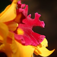 Орхидея :: Irina Radzinsky