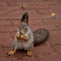 Белка все орешки грызет... :: Зинаида Манушкина