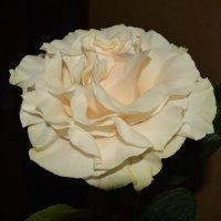 Кремовая роза :: Yulia Raspopova