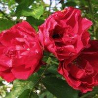 Октябрьские розы :: sm-lydmila Смородинская