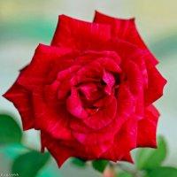 Роза-символ совершенства. :: Андрей Иванович (Aivanovich-2009)