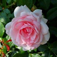 роза :: жанна