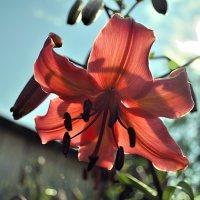 Лилия в солнечном свете :: Андрей Шейко