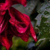 капли на цветке :: Любовь Анищенко