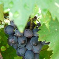 виноград :: Константин Трапезников