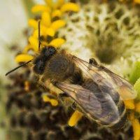 Пчела :: Ольга Исупова