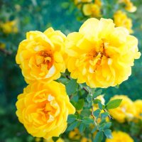 Желтые розы :: Элла Чуксина