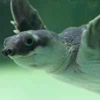 свиноносая черепаха :: Светлана Попова