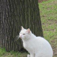 Белый котик :: Маера Урусова
