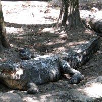 """Крокодил:""""хорошо что коровы не летают"""" :: Яков Геллер"""