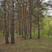 Сосновый лес. :: Андрей В.
