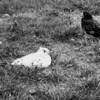 Белый голубь, серый голубь :: Игорь Попов