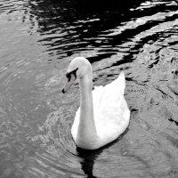 лебедь :: Yana drozdetskaya