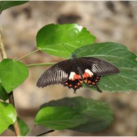 Экзотические бабочки :: Леонид Дудко