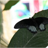 Экзотические бабочки (2) :: Леонид Дудко