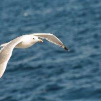 Чайка :: Иван Гараев