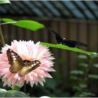 Экзотические бабочки (3) :: Леонид Дудко