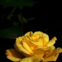 Эти желтые розы... :: Олеся