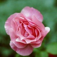 Роза :: Александа Семенчук