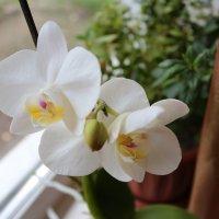 Орхидея :: Анастасия Тетерская