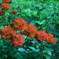 Розы в сентябре :: Юрий Стародубцев