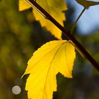 Желтый лист осенний... :: Sergey L