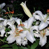 Белая лилия :: Андрей Шейко