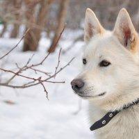 Белый волк :: Asya Piskunova