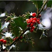 Коралловое дерево ( Рождественские ягоды)  :: Леонид Дудко
