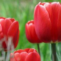 Тюльпаны =) :: Камилла Галиева