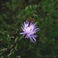 Полевой цветок :: Настя Неверова
