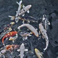 Золотые рыбки :: Polina B Visual artist