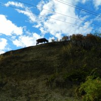 Горная корова :: Igor Gruzdev