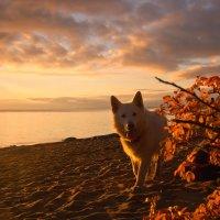 Белый пёс идущий по берегу... :: Ирэна Мазакина