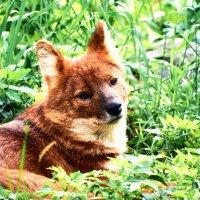 Красный волк. :: Валерий Гончаров